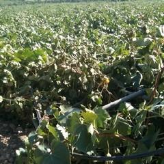 Abbattuti tendoni dell'uva negli agri di Barletta