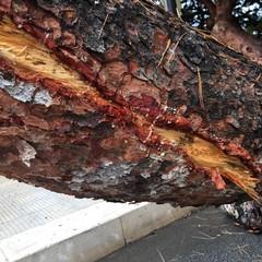 Rimosso l'albero caduto a Levante, verifiche in corso