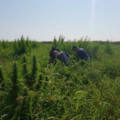 Marijuana coltivata ad Ariscianne, grossa operazione della Polizia di Barletta