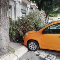 Albero caduto in piazza Conteduca