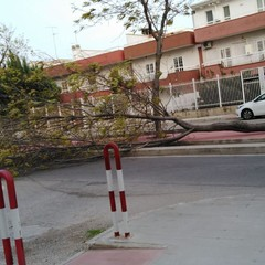 Albero caduto in via Buonarroti