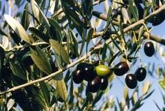 Furti in campagna, arrestati tre barlettani e sequestrati sette quintali di olive