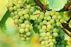 Troppo basso il prezzo dell'uva, abbattuti alcuni tendoni
