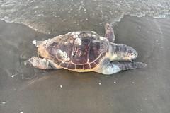 Trovata una tartaruga priva di vita sulla costa della Fiumara