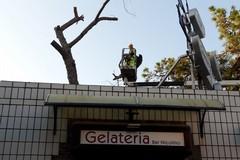 Addio allo storico albero del bar Nicolino di Barletta