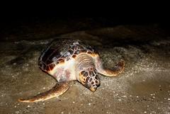 Tartaruga spiaggiata sulla Litoranea di Ponente