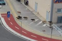 Branco di cani in giro per Barletta, la segnalazione del Movimento Animalista