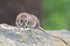 """Ratti nella succursale della """"Musti-Dimiccoli"""" di Barletta, scuola chiusa"""