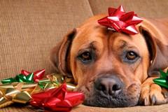 Cosa fare se il cane ha paura dei fuochi d'artificio?