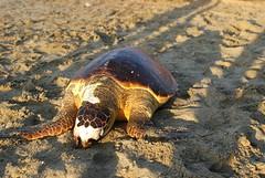 L'estate delle tartarughe spiaggiate