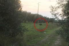 Cinghiali nelle campagne di Barletta, segnalazione in via Minervino