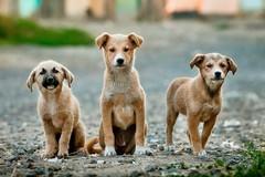 Sequestrati 23 cuccioli di cane, arrestata una coppia di Barletta