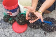 Blitz per la vendita illecita di datteri di mare