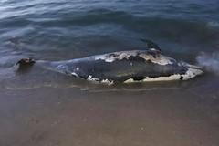 Delfino spiaggiato sulla costa di Levante a Barletta