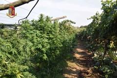 Scoperta vasta piantagione di marijuana a Barletta, tre arresti