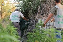 Scoperta una piantagione di canapa indiana. Quattro arresti