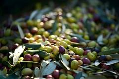 Sempre più frequenti i furti di olive nelle campagne di Barletta