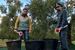 Sventato furto di olive nelle campagne tra Barletta e Trani