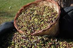 Olio d'oliva ai minimi storici, Coldiretti: «La Regione deve darsi da fare»