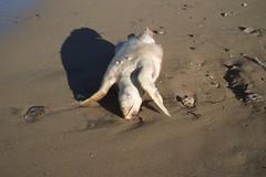 Tartaruga marina senza vita sulla costa tra Barletta e Trani