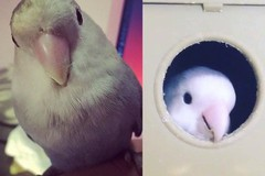 Smarrita una pappagallina in via Rizzitelli