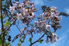 A Barletta saranno piantati 15 esemplari di albero imperatrice