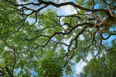 Da lunedì trattamenti su Quercus Ilex sull'intero territorio di Barletta