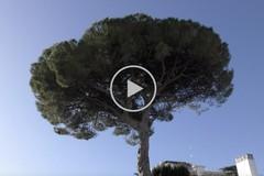Il pino resta lì, almeno per adesso: Barletta guadagna tempo sull'abbattimento