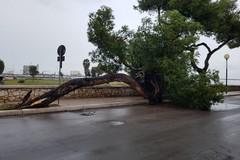 Crolla un albero sulla litoranea di Levante a Barletta