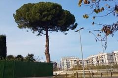 Il pino secolare è pericoloso: «A Barletta il regalo sotto l'albero è un albero che viene abbattuto»