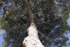 Via Vittorio Veneto, la Soprintendenza: «Nessun vincolo per il pino secolare di Barletta»