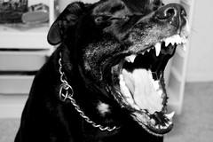 Aggredito da un pit-bull e derubato, identificato il rapinatore a Barletta