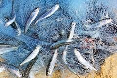 In beneficenza 100 kg di prodotti ittici sequestrati nel porto di Barletta