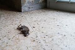 Invasione di ratti a Piazza Plebiscito