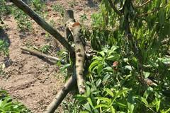 Barletta, danneggiati 30 alberi di pesco: allarme nelle campagne