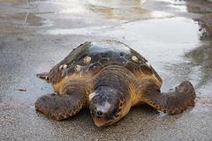 Tartaruga spiaggiata e ferita sul litorale barlettano
