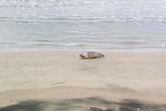 Tartaruga priva di vita sulla Litoranea di Levante