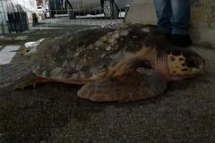 Trovata nelle campagne di Barletta, la tartaruga sarà riconsegnata al mare