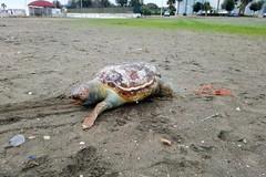 Muore incastrata in una rete, tartaruga senza vita sulla spiaggia di Barletta