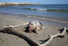Da 24 ore una tartaruga è spiaggiata sulla litoranea di Levante