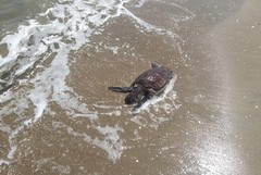 Ritorna l'estate, a Barletta tornano le tartarughe spiaggiate