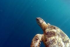 Ritrovata capovolta nelle campagne di Barletta, tartaruga marina messa in salvo dal WWF
