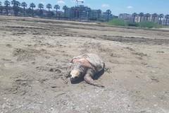 Tartaruga spiaggiata a Barletta nei pressi del canale H