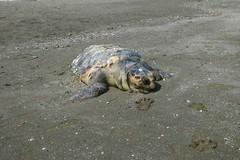 """Povera tartaruga, a Barletta trovata """"Caretta"""" priva di vita sul lungomare Mennea"""