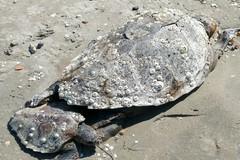 "Trovate due tartarughe spiaggiate in località ""Pantaniello"" a Barletta"