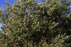 Xylella a Canosa di Puglia, «si tratta di un focolaio isolato»