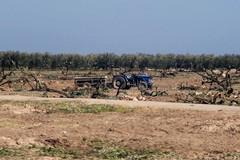 Continua la strage, altri 2000 ulivi abbattuti sulla strada per Canne