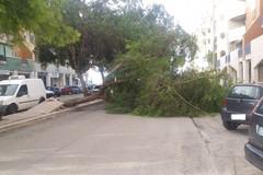Maltempo a Barletta, cade un albero in via Paisiello