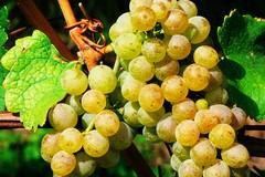 Furti di uva da tavola nella Bat, Confagricoltura: «Potenziare i pattugliamenti»
