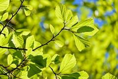 Trattamenti fitosanitari per il benessere del patrimonio arboreo di Barletta